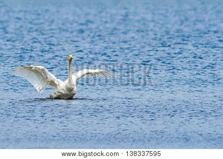 Single proud swan wings open in water