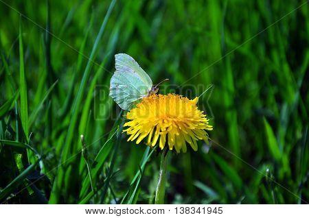 A green-winged butterfly enjoying a yellow flower