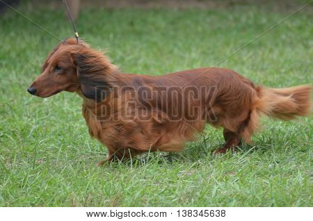 Brown long haired dachshund dog on a leash.