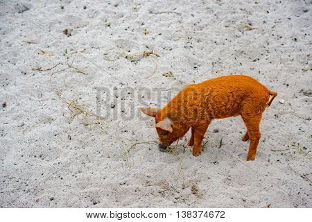 pig with piglets on the farm in Germany