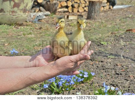 A close up of the very small ducklings on hands.