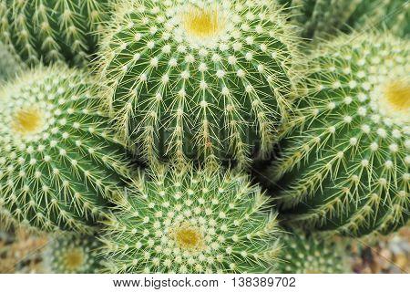 Group of globular cactus background. Green Natural Background.