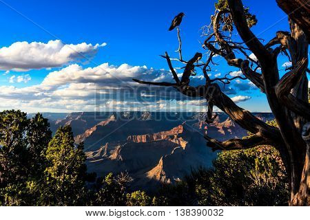 A crow perched on a gnarled tree on the edge of the Grand Canyon in the afternoon