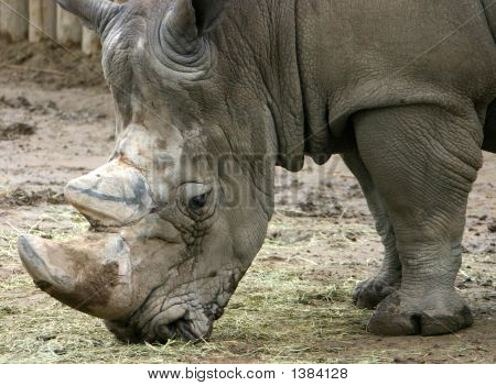 Rhinoceros Forages In Zoo