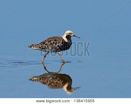 Ruff (Philomachus pugnax) walking in water in its habitat looking for food