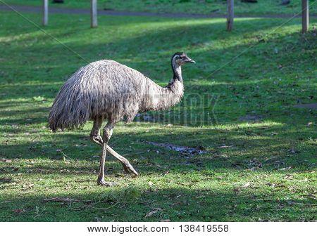Native Australian Emu flightless bird closeup portrait