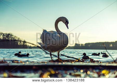 portrait of swan standing against bright sunlight
