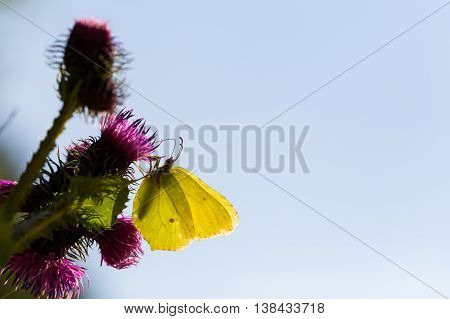 yellow common brimstone butterfly (Gonepteryx rhamni) in backlight