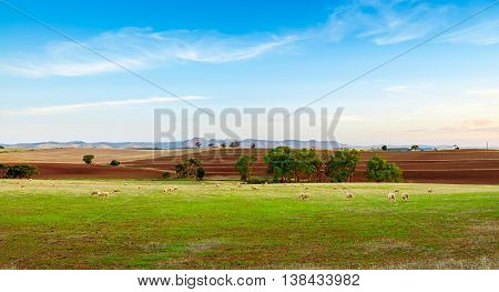 Sheep farm at sunset in Barossa Valley, Australia