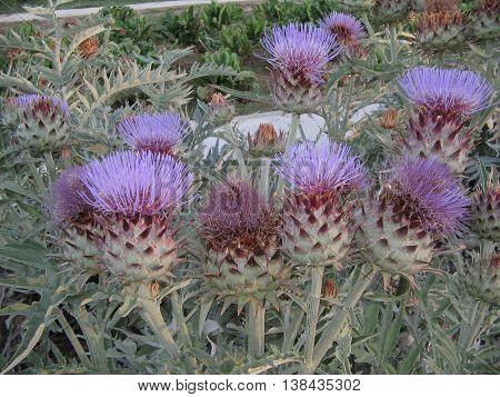 Visita al huerto-escuela. Zaragoza.  Cardo, planta comestible con flores  grandes y bellas, sus troncos son largos y espinosos. Muy apreciada en Aragón y Navarra.