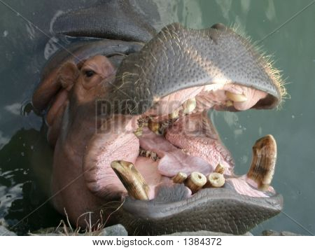 Hippo In Japan