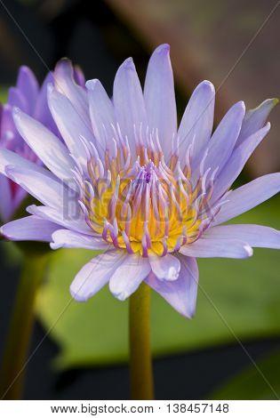 beautiful puple lotus on a nature background