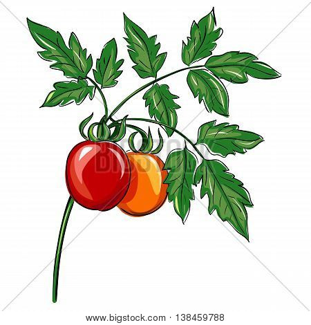 Bunch of organic tomatoes on the plant on white background.Tomatoes with leaf vector illustration. Bio product