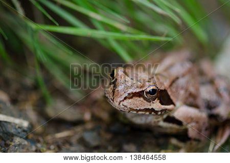 Brown european frog in grass - Rana Temporaria