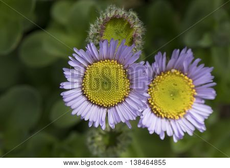 Lilac Seaside fleabane (Erigeron glaucus) flowers close up poster