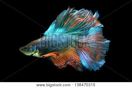 Haft moon tail orange green Betta fish or Siamese fighting fish photo in flash studio lighting.