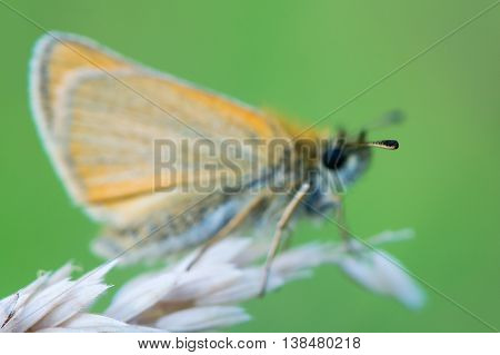 Essex skipper (Thymelicus lineola) tip of antenna. Butterfly in the family Hesperiidae showing identifying black end of antenna seperating the species from small skipper (T. sylvestris)