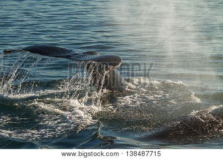 The Tail Of A Humpback Whale When Diving