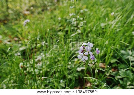 Violet Saponaria Flowering Plants At Forest. Grass Soap. Soapworts Flower