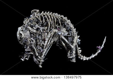 Mummified squirrel skeleton on a black background