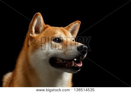 Close-up Portrait of head Shiba inu Dog, Looks Curious and smiling, Isolated Black Background, Profile view