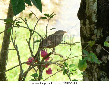 Yellowbilled Babbler