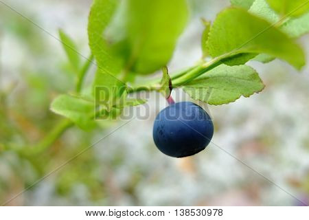 Blueberry fresh on branch in the forest. Wild edible berries to improve vision. Vitamins in natural form in nature. Picking berries in the summer. In medicine uses the berries and leaves.