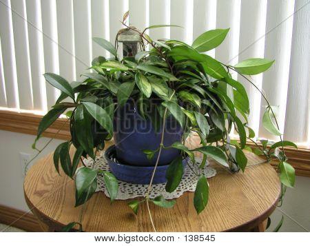 Wax Plant (hoya Carnosa) Houseplant