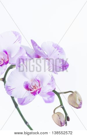 White and purple Phalaenopsis orchid and buds