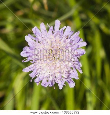 Flower of Field Scabious Knautia Arvensis with dark bokeh background macro selective focus