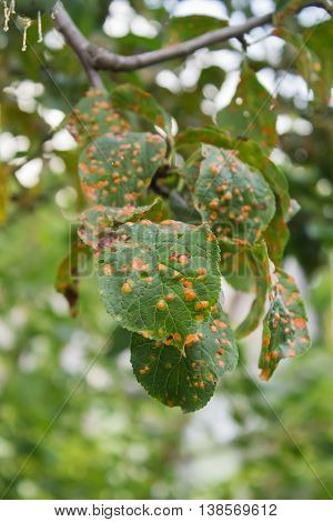 plum tree disease affected leaves closeup on the blurry background. candid photos poster