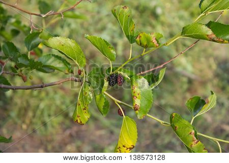 candid photos Mulberry branch with fruits and leaves of affected