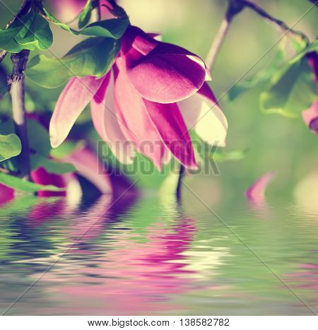 Blossoming of pink magnolia flowers in spring time, floral background with water reflection