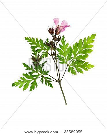 Pressed and dried flower geranium (geranium robertianum) on stem with green leaves. Isolated on white background. For use in scrapbooking floristry (oshibana) or herbarium.