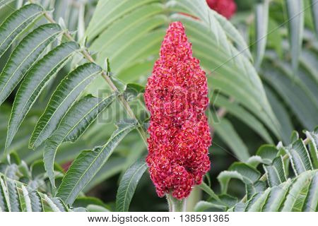 Staghorn Sumac (Rhus typhina) with red bob, along a country roadway in Kingston, Ontario Canada