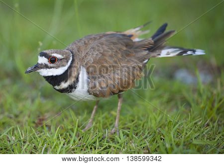 Killdeer staying between the camera and its nest in the background