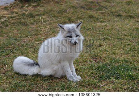 Fluffy white swift fox sitting in grass.