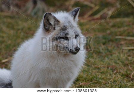 Beautiful profile of a swift fox sitting.