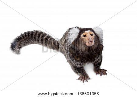 The common marmoset, Callithrix jacchus, isolated on white background