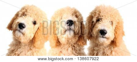 Three goldendoodle puppies, studio isolated on white.