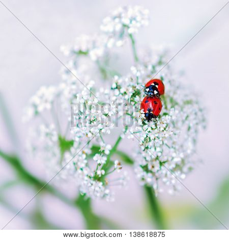 Pair of ladybirds making love on white flowers against a light blurred background. Selective focus.