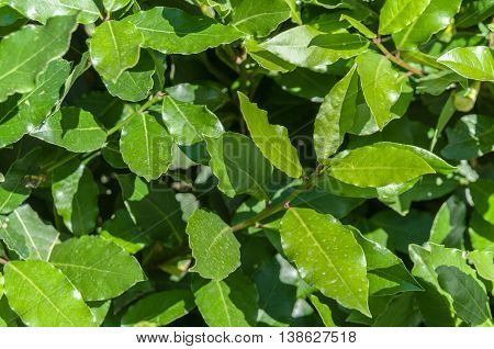 laurel leaves, bay leaf, summer sunny day