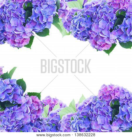 blue and violet hortensia flowers frame over on white background