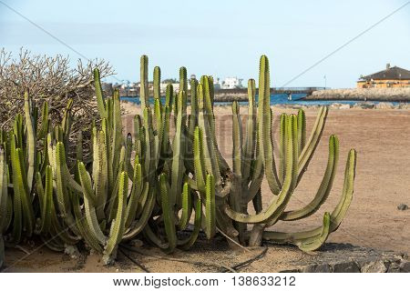 Pachycereus cactus on Fuerteventura Canary Islands Spain