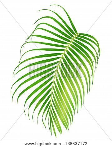 Palm leaf isolated on white background. Vector foliage of tropical tree (useful at any brochure, booklet, leaflet, invitation, holiday and vacation ad)