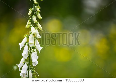 Beautiful Summer Garden Landscape With Beautiful Foxgloves In Foreground With Selective Focus