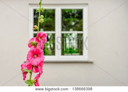 Budding and pink blossoming common hollyhock or Alcea rosea plant in front of the white plastered facade of an old house in a small Dutch village.