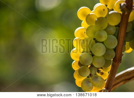 Gold Riesling grapes hang from the vine and colorful leaves