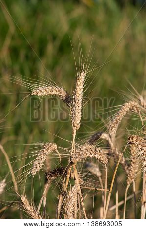 Wheat (Triticum aestivum L.) is the most important grain.