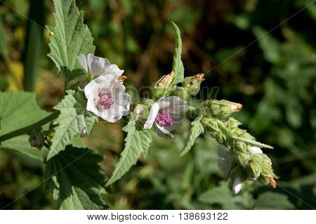 Marshmallow (Althaea officinalis) is a natural healing process.